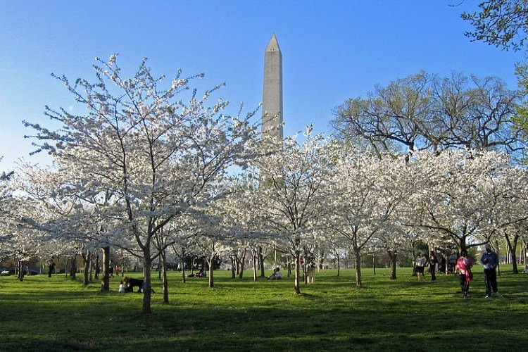800px-Cherry_Blossoms_and_Washington_Monument